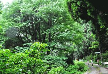 カツラの木