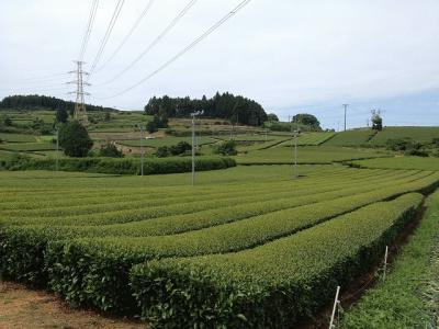 茶畑(坊主原②).jpg