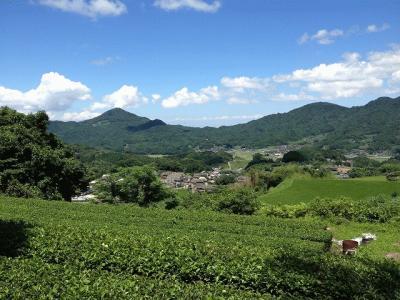 茶畑(西吉田②).jpg