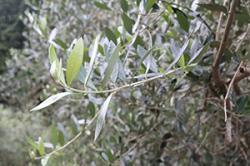 re.olive7.jpg