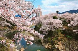 re.sakura2019ureshinogawa0331-2.jpg