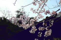 re.sakura2019yoshiura0330-2.jpg